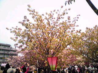 大阪・造幣局、桜の通り抜け、珍しい桜