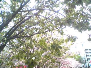 大阪・造幣局、桜の通り抜け、かなり珍しい桜