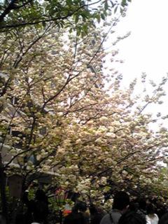 大阪・造幣局、桜の通り抜け、こんな桜もあるんだ!